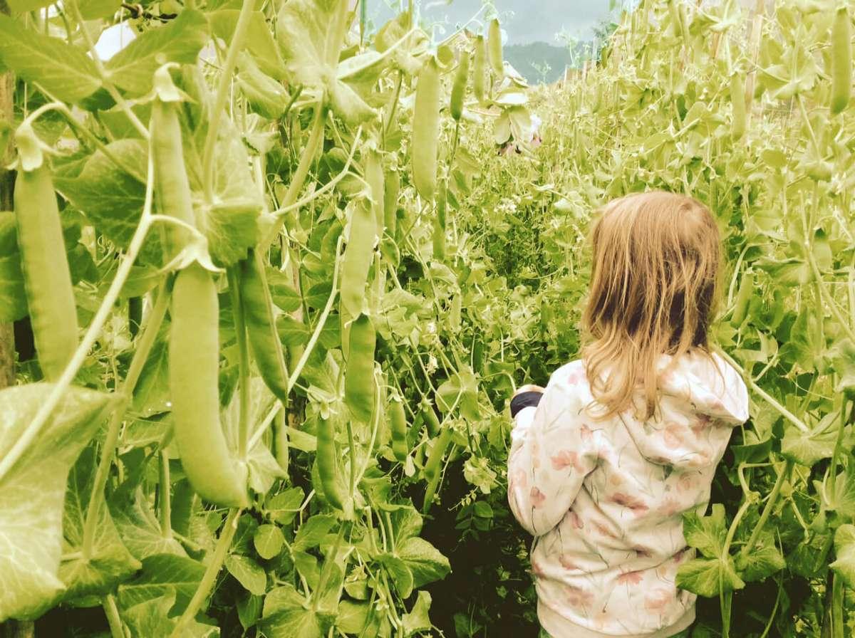 Bambina che raccoglie fagioli durante la fattoria didattica NicoBio