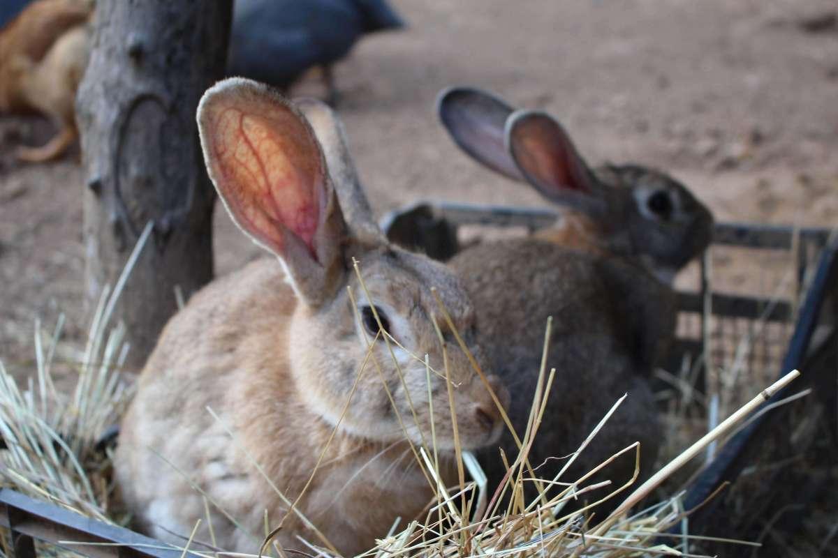 Conigli della fattoria didattica NicoBio